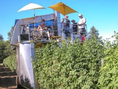 Machine harvesting raspberries