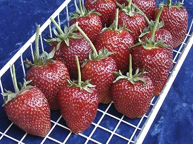 Wire rack containing picked Puget Crimson strawberries.