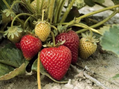 Puget Reliance strawberries on the plant.