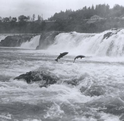 salmon_leaping_at_willamette_falls-square