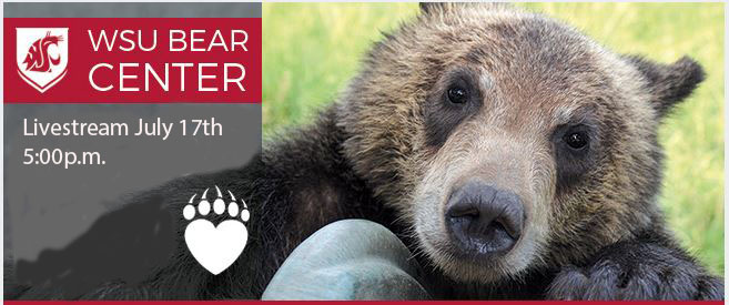 Photo; WSU Bear Center Live-stream July 17th 5:pm, bear in background.