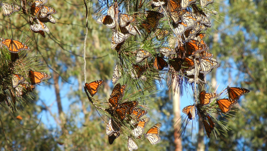 butterflies on a pine branch