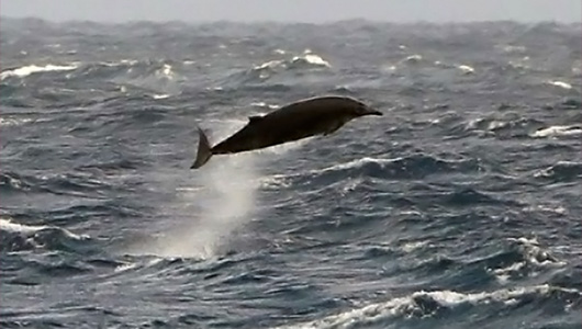 Rare sighting off the coast of Ireland of elusive beaked whale. (photo by Ashley Bennison)