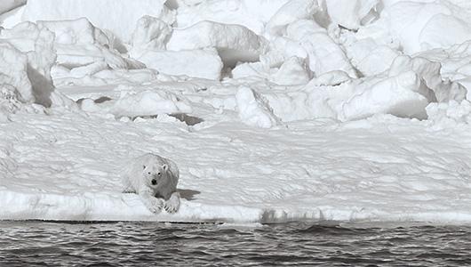 Chukchi Sea polar bear
