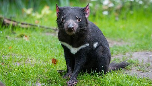 Image of a wild tasmanian devil