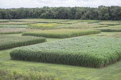 Field of switchgrass