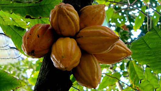 Theobroma cacao tree fruits