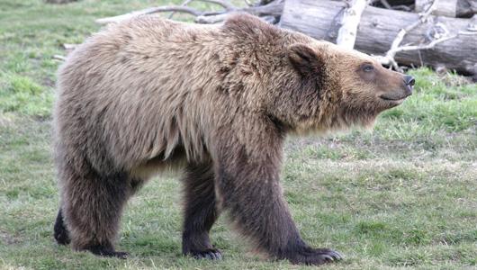 (c) WSU, grizzly bear walking