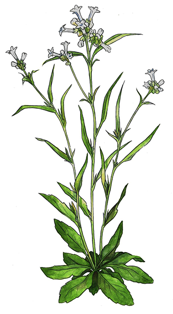 An illustration of Nicotiana quadravalvus