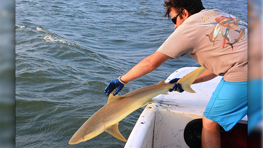 Charles Bangley releases a live shark into the ocean from the side of a boat.