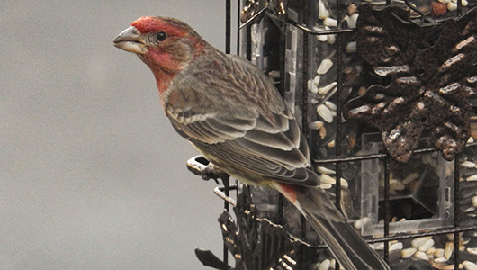 White House Finch.