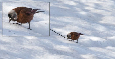 A detailed photograph of a bird standing on glacial snow while eating a worm.