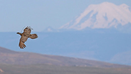 A grouse flying across the landscape with Mt. Rainier in the background.