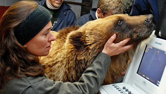 Researchers conduct a cardiac ultrasound on a groggy bear during hybernation.