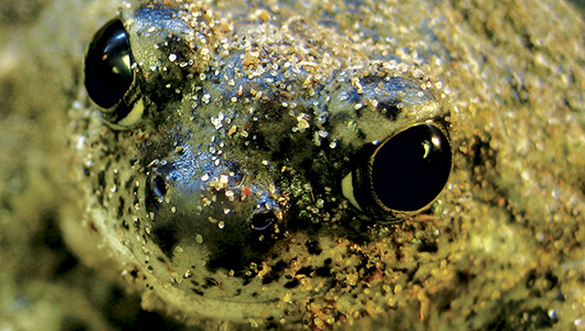 Close up of spadefoot toad.