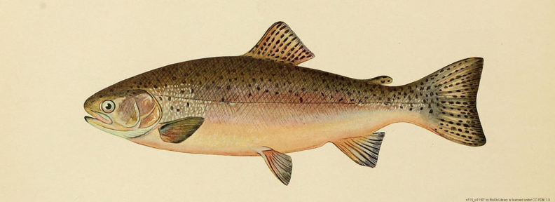 drawing of rainbow trout