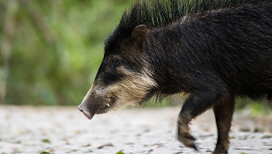 White-lipped peccary in profile.
