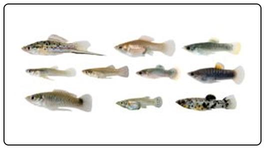 Toxic fish.