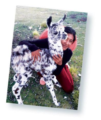 Someone hugging a young llama.