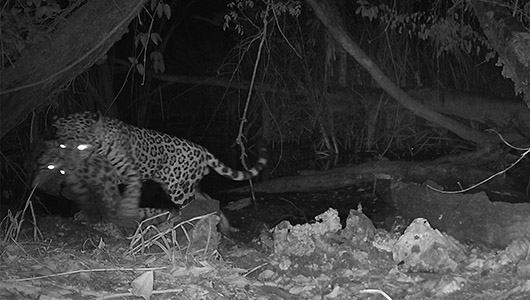 A trail camera shows jaguar attacks an ocelot at night..