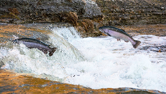 Salmon jumping upstream.