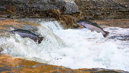 Salmon jumping upstream.