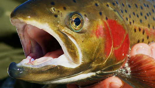 Steelhead trout.