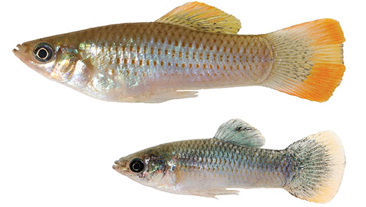 Two sliver fish on a white background, top fish is larger with orange highlights on its fins, bottom fish is smaller with some blue tones.