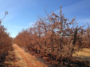Apple orchard in the Roza Irrigation District, Washington State. September 2015. Credit: Sonia A. Hall