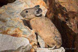 American Pika in Yosemite National Park. (Photo: Alice Cahill, some rights reserved.)