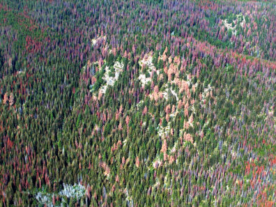 Ponderosa pine (orange) and lodgepole pine (red) killed by mountain pine beetle.  (Photo Credit: Washington Department of Natural Resources, some rights reserved.)