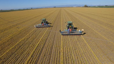 Onion planting into strip tilled rows, wheat cover crop. Photo by Darrell Kilgore.