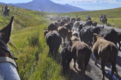 Cattle along a road, with riders on either side, surrounded by green vegetation and mountains in the background