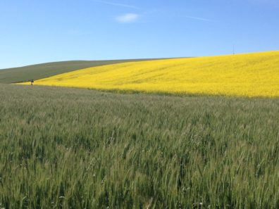 Rolling hills with green wheat field in the foreground and flowering yellow canola in the background