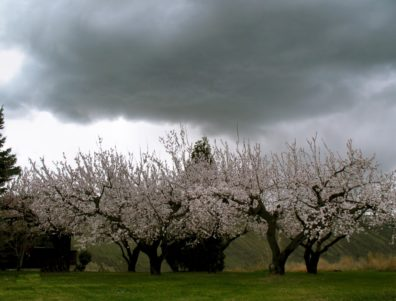 Apricot orchard in bloom, with storm clouds overhead.