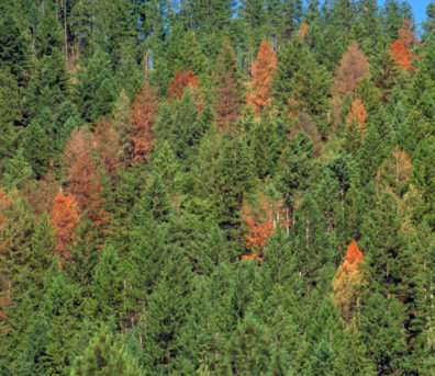 Tree crowns in a conifer forest, a few that have turned dark orange