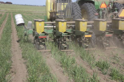 A seeder planting between strips of wheat