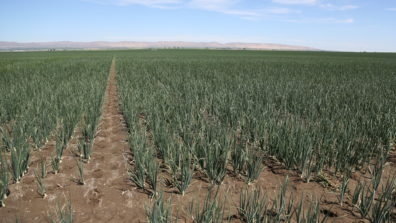 Onion plants in rows, with small bits of brown residue remaining on soils between the rows