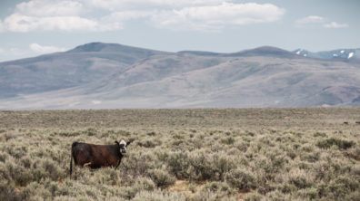 Cattle grazing on rangeland with mountains in the distance.