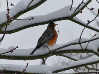 Robin on and surrounded by tree branches covered in snow.