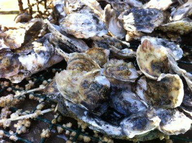 A pile of oysters.