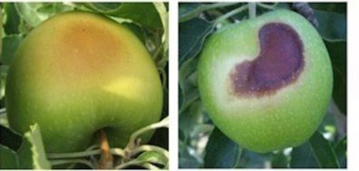 Green apples with golden brown or dark brown patches on the skin