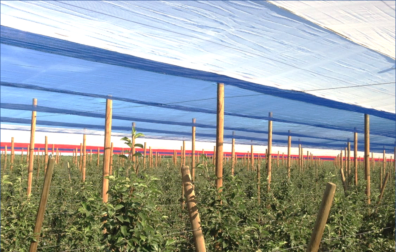 Small apple trees with blue, white and red netting above