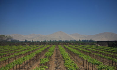 Looking along grape vine rows, with arid hills in the background