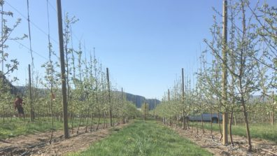 Two lines of thin, straight-branched apple trees backed by a trellis