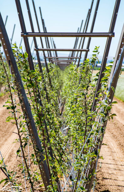Small apple trees in a v-trellis system, with bare soil around the line of trees