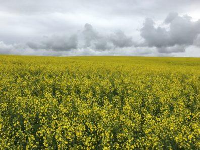 Field of mustard, in bloom