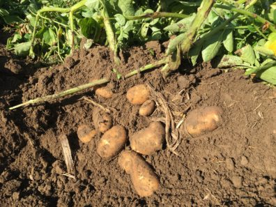 Close-up of potatoes, where the soil has been cleared around the plant