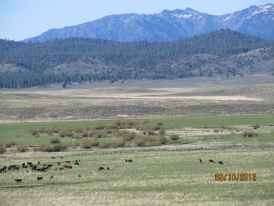 Cattle grazing open rangeland, with forested hills and mountains in the background