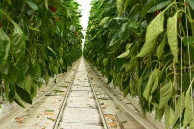 Dense rows of pepper plants in a greenhouse, on either side of a set of rails